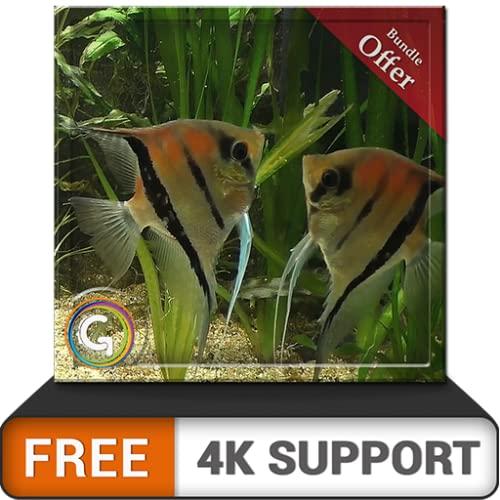 kostenloses Paar Fischaquarium HD - genießen Sie die Romantik der Fische auf Ihrem HDR 4K-Fernseher, 8K-Fernseher und Feuergeräten als Hintergrundbild, Dekoration für die Weihnachtsferien, Thema für V